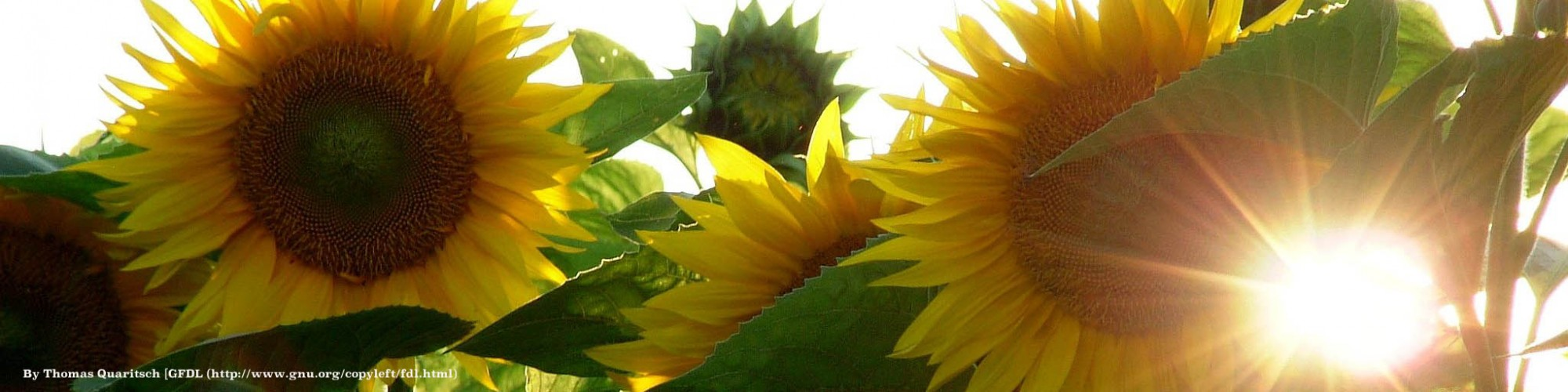 cropped-banner-sunflower2.jpg